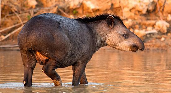 photo_restauracion_tapir_02
