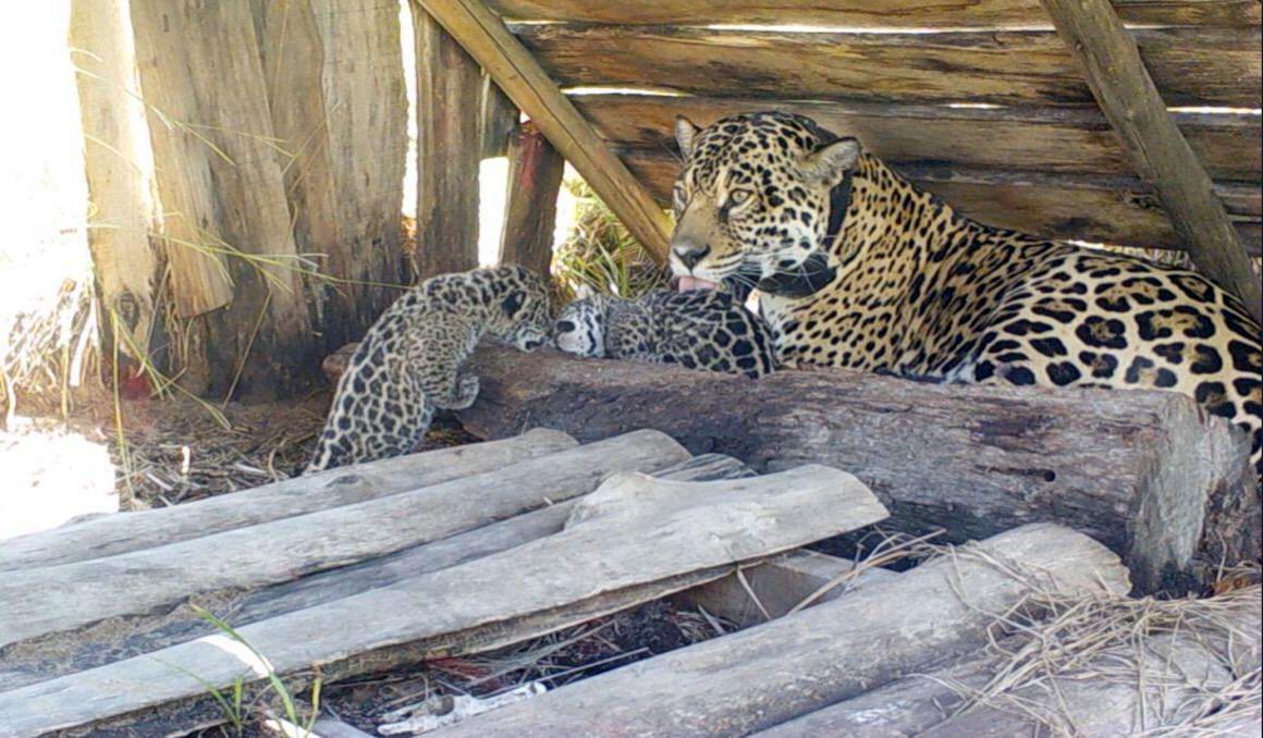 Nueva camada de cachorros de yaguareté en el Iberá